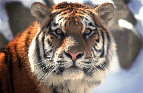 With_Killing_Eye_Closeup_Face_of_Tiger_Images.jpg